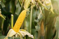 Желтый удар мозоли в зеленом цвете выходит на поле фермы Таиланд Стоковые Фотографии RF