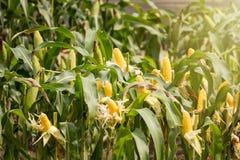 Желтый удар мозоли в зеленом цвете выходит на поле фермы Таиланд Стоковая Фотография RF