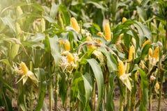 Желтый удар мозоли в зеленом цвете выходит на поле фермы Таиланд Стоковое Изображение