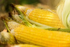 Желтый удар сладостной мозоли в деревянной коробке на поле фермы Таиланд Стоковое Изображение
