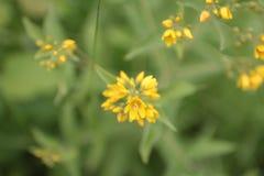 Желтый ферзь Стоковая Фотография