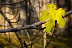 Желтый фиговый листок с пятнами Стоковые Фотографии RF