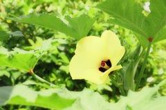 желтый цветок бамии стоковое изображение