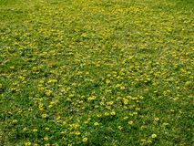 Желтый цветок в зеленой траве Стоковое Изображение