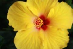 Желтый цветок гибискуса Стоковое фото RF