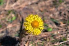 Желтый цветок горы Стоковая Фотография RF