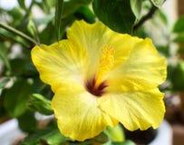 Желтый цветок завода гибискуса стоковые изображения