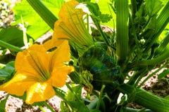 Желтый цветок зацветая patisson в саде стоковые фото