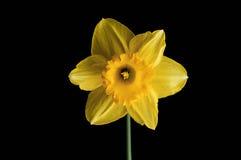 Желтый цветок изолированный на черной предпосылке Стоковая Фотография