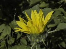 Желтый цветок который зацветает Стоковые Изображения RF