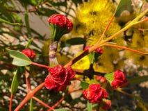 Желтый цветок красного цвета Illyarrie покрыл камедь, камедь гайки шлема, mal стоковая фотография rf