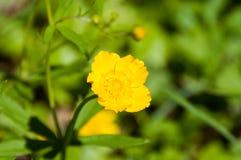 Желтый цветок 5 лепестков Зеленые растения вокруг Стоковые Фото