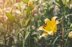Желтый цветок лилии в саде Стоковые Изображения