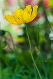 Желтый цветок мака, конец вверх по съемке. Стоковые Изображения RF