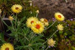 Желтый цветок маргаритки в королевских ботанических садах Виктории Cranbourne Австралии Стоковое фото RF