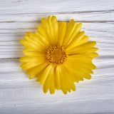 Желтый цветок маргаритки на белой деревянной предпосылке стоковая фотография rf