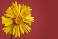 Желтый цветок маргаритки на красной предпосылке стоковое изображение rf