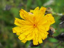 Желтый цветок на зеленой предпосылке сада стоковая фотография rf
