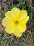 Желтый цветок на цветени Стоковое Изображение