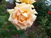 Желтый цветок на цветени Стоковое Фото