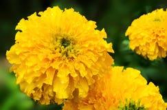 Желтый цветок ноготк (erecta Tagetes, мексиканский ноготк, ацтек Стоковое Изображение RF