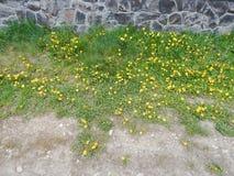 Желтый цветок одуванчика с листьями и травой зеленого цвета Стоковое Изображение RF