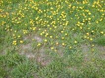 Желтый цветок одуванчика с листьями и травой зеленого цвета Стоковое Фото