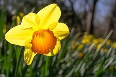 Желтый цветок освещенный от позади по солнцу стоковые изображения