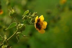 Желтый цветок просвирника ` s Palmer индийского с зелеными стручками семени Стоковая Фотография