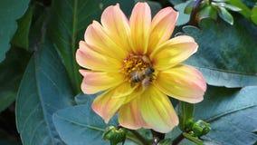 Желтый цветок среди зеленого цвета выходит с пчелой на его сток-видео