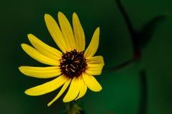Желтый цветок с темным центром на темной ой-зелен предпосылке стоковая фотография rf