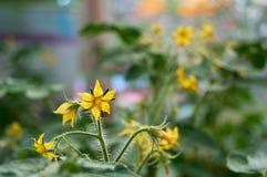 Желтый цветок томата стоковые фотографии rf