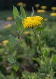 Желтый цветок тысячелистника обыкновенного с вьюнком вокруг его стоковые фото