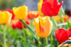 Желтый цветок тюльпана в саде Стоковое Изображение