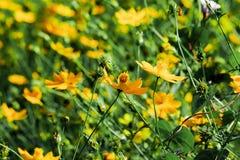 Желтый цветок цветения с расплывчатой предпосылкой на солнечный день стоковые изображения rf
