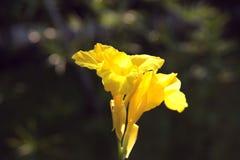 Желтый цветок canna на предпосылке bokeh Концепция природы стоковое фото rf