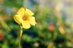 Желтый цветок jessamine в глуши стоковые изображения rf