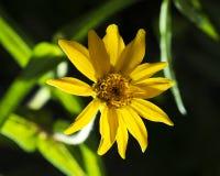 Желтый цветок Zinnia на черной предпосылке стоковое изображение