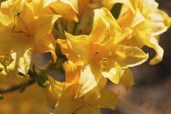 желтый цвет азалии Стоковая Фотография RF