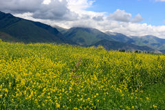 желтый цвет альфальфы Стоковое фото RF