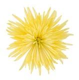 желтый цвет астры стоковая фотография