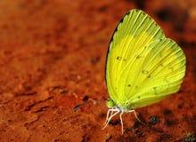желтый цвет бабочки Стоковое Изображение