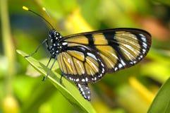 желтый цвет бабочки Стоковое Фото