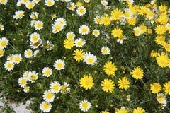 желтый цвет белизны сада цветков маргаритки Стоковые Изображения