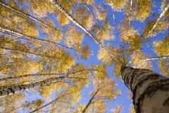 желтый цвет берез Стоковые Изображения RF