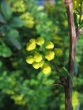желтый цвет бутонов Стоковая Фотография RF