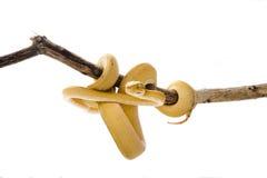 желтый цвет вала горжетки Стоковые Фотографии RF