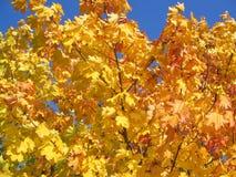 желтый цвет вала клена Стоковая Фотография