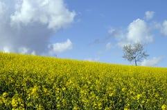 желтый цвет вала поля сурепки сиротливый Стоковые Изображения RF