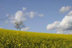 желтый цвет вала поля сурепки сиротливый Стоковое Фото